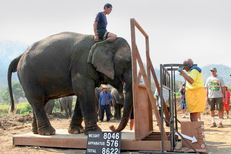 Sri-Chinmoy beim Elefanten heben